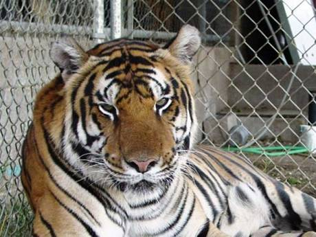 A tiger living in a heavy chain link wire mesh enclosure