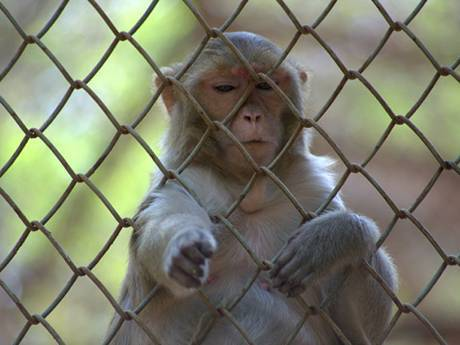 A monkey is reaching out her hands through the chain link fence.