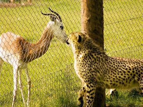 Chain link fence in the zoo separating leopard and antelope.