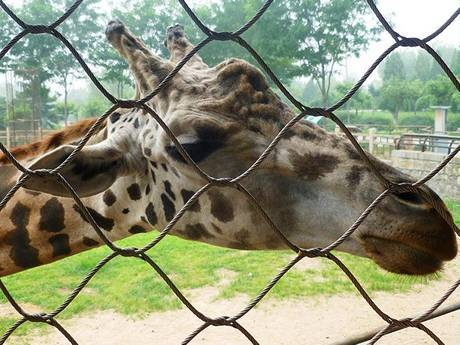There is a giraffe beside the wire rope mesh fencing.