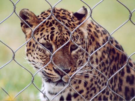 There is a leopard behind the interwoven wire rope mesh fence.