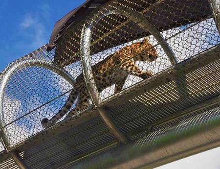 There is a leopard in a rope mesh walkway.
