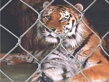 The tiger is looking forward through stainless steel rope mesh.